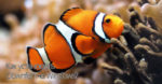 Clownfish на Windows